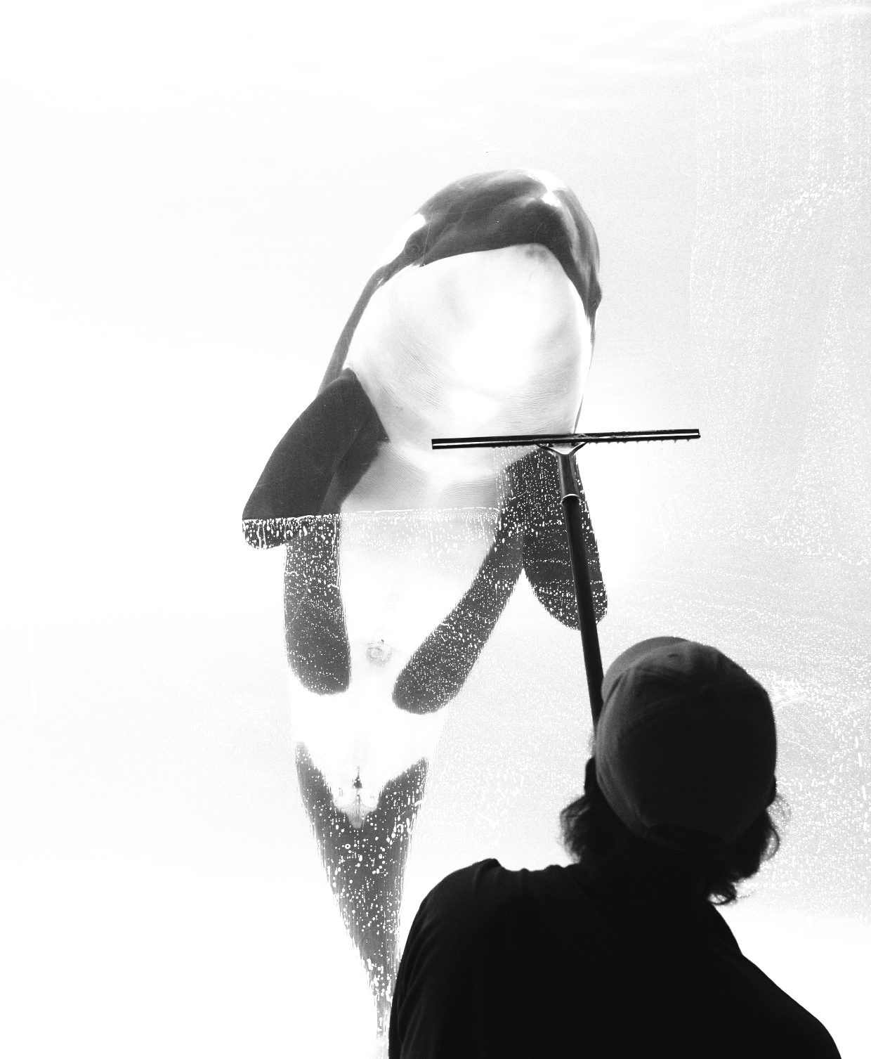 Cleaning glass in front of an orca