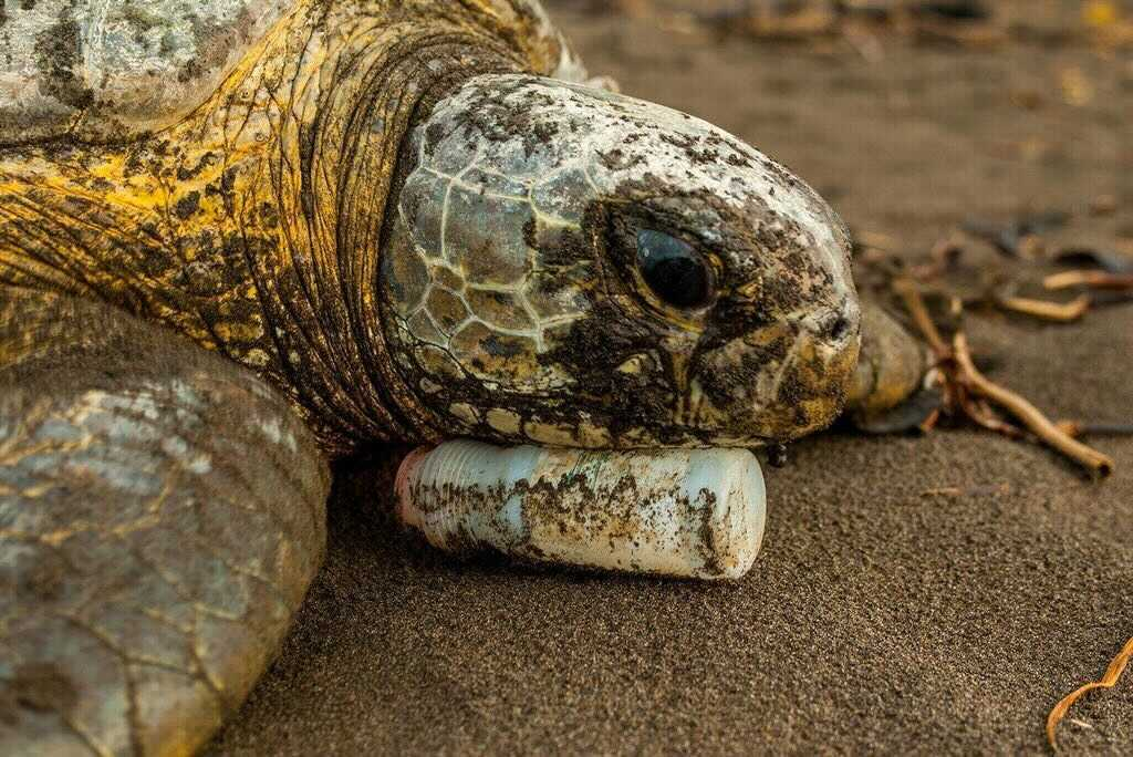 """""""Broken Home."""" A sea turtle rests its head on a plastic bottle on Tortuguero Beach, Costa Rica in 2006. Image by Neil Ever Osborne."""